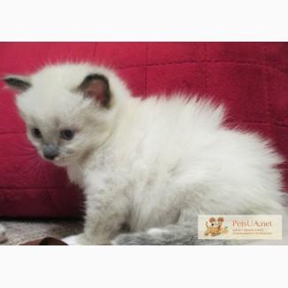 Бирманская Священная котенок