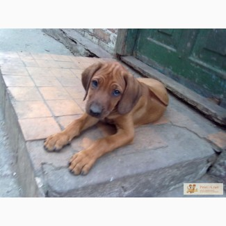 Родезийский риджбек щенки недорого срочно