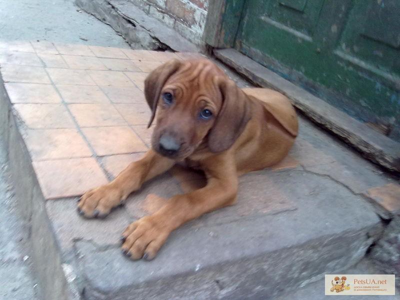 Фото 1/1. Родезийский риджбек щенки недорого срочно