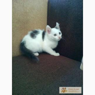 Котёнок породы американский керл(метис), 2 мес.