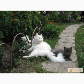 Пушистые милые котята Турецкой ангоры ищут хозяина