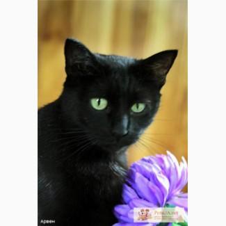 Черное золото, красивейшая европейская короткошерстная кошечка