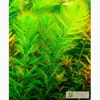 Перистолистник зелёный, аквариумное растение
