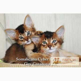 Котята сомали дикого окраса – маленькие позитивчики котенок сомали
