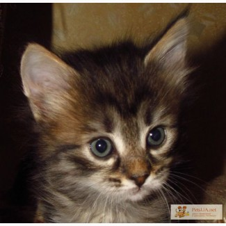 Кошечка Стеффи - 7 недель.