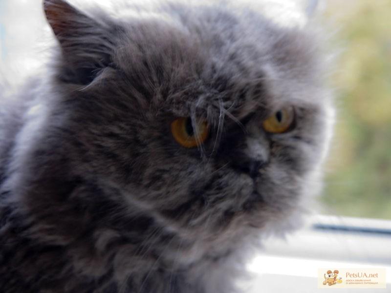 Голубой персидский кот фото