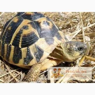 Продаётся Балканская черепаха (лат. Testudo hermanni)