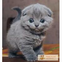 Британська короткошерста кішечка