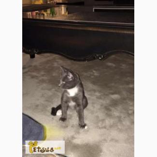 Киев!Очаровательный котенок, метис русской голубой ищет дом
