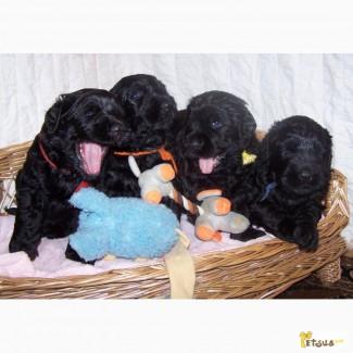 Замечательные щенки русского чёрного терьера
