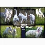 Немецкая Бела Овчарка (Швейцарская белая овчарка) - щенки