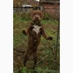 На продажу подрастают щенки питбультерьера