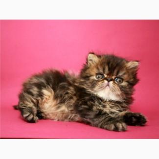 Персидский котенок, мраморный мальчик