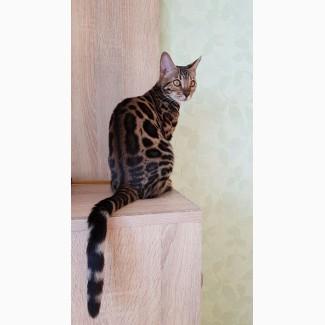 Купить бенгальского кота Харьков
