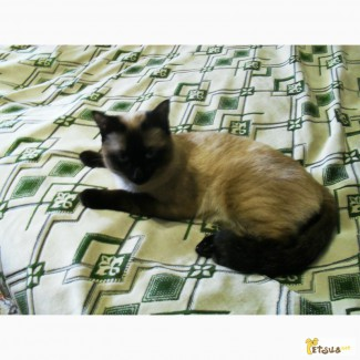 Приглашаем на вязку. Cиамский кот