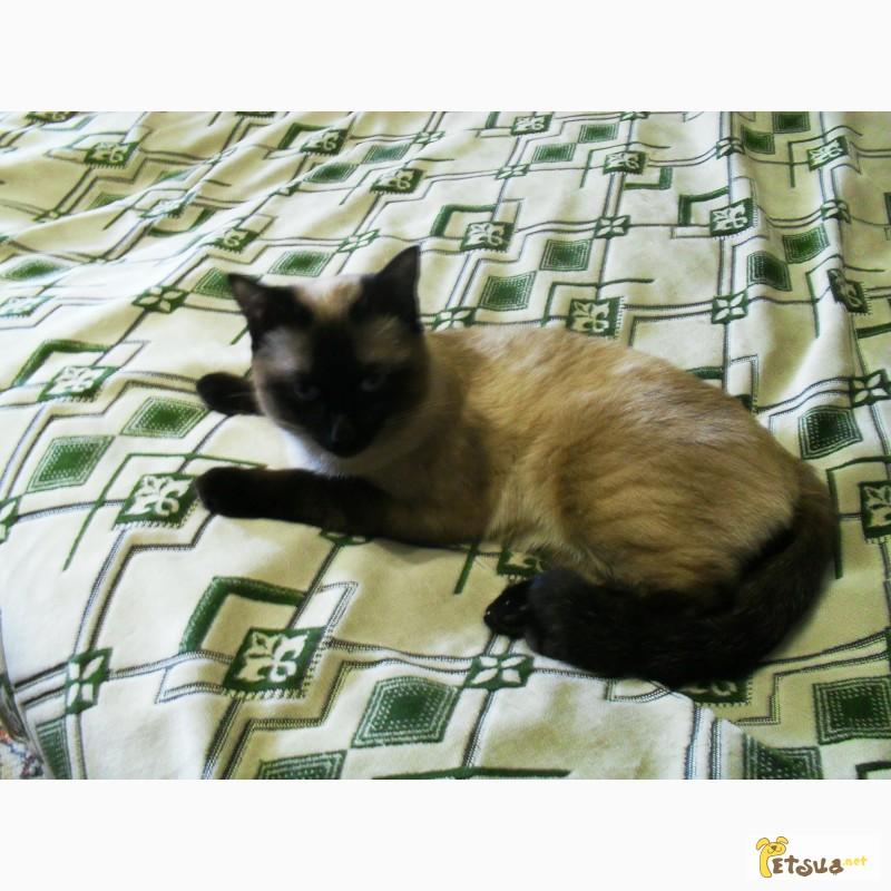 Фото 1/3. Приглашаем на вязку. Cиамский кот