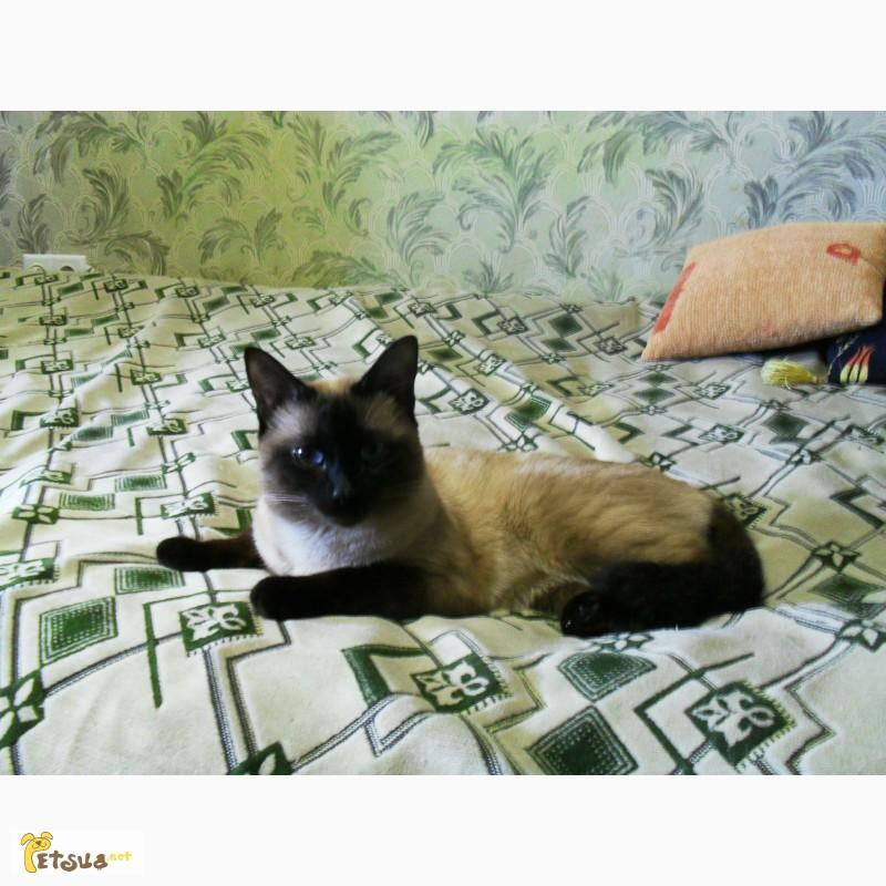 Фото 2/3. Приглашаем на вязку. Cиамский кот
