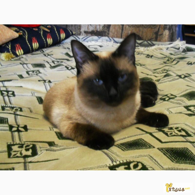 Фото 3/3. Приглашаем на вязку. Cиамский кот