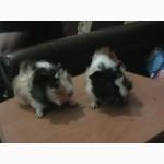 Продам маленьких морских свинок