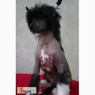Китайская хохлатая собачка, щенки
