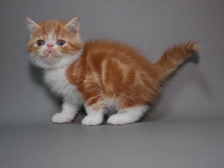Фото 2/3. Предлагаем породистых котят породы Экзотическая короткошерстная. Мальчики