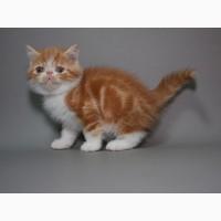 Предлагаем породистых котят породы Экзотическая короткошерстная. Мальчики
