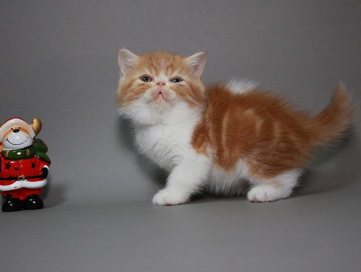 Фото 3/3. Предлагаем породистых котят породы Экзотическая короткошерстная. Мальчики