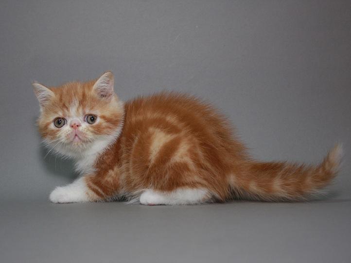 Фото 1/3. Предлагаем породистых котят породы Экзотическая короткошерстная. Мальчики