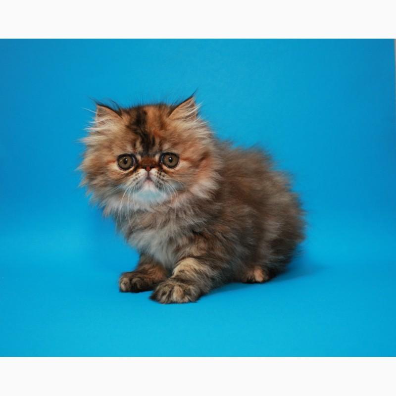 носить чем персы котята в краснодаре фото мучнистую росу