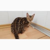 Бенгальская кошка (Бенгал) купить в Киеве