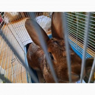 Кролик декоративный вязка