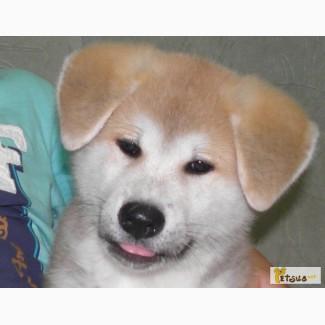 Шикарные щенки японской акита-ину