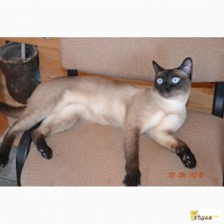 Запись на котят очень редкой породы - тонкинез! Тонкинезы - счастье в дом