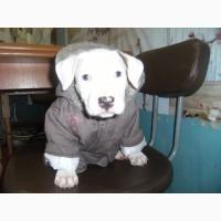 Продам щенков стаффордширского терьера