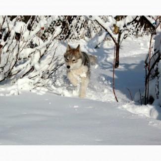Лучшая девочка помета волчьего окраса КСУ