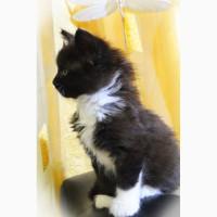 Шикарный котёнок Мейн-кун