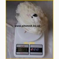 Инкубационные яйца супер - бройлер Белый Техасец - (США Texas)