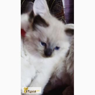 Продам супер красивых котят невской маскарадной
