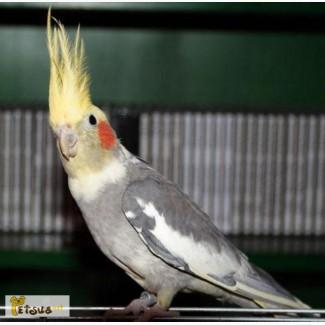 купить попугая корелла в барнауле