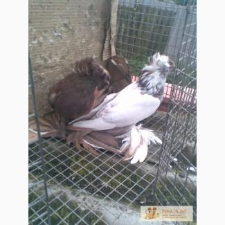 Голуби різні види голубів