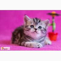 Клубные мраморные котята фолд и страйт