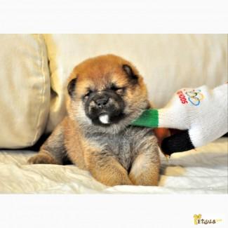 Очаровательные щенки сибы ярко-рыжего окраса. Рождены 9.06.17. Отец - импорт Япония