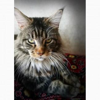 Вязка мейн-кун, шикарный тигровый кот