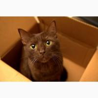 Коричневый гаванский кот для вязки