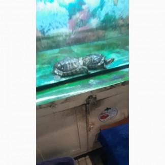 Отдам в хорошие руки две красноухие черепахи
