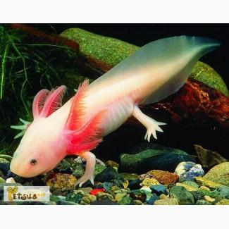 Аквариумный водяной дракон