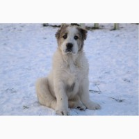 Продам щенков Алабая, Волкодава, САО