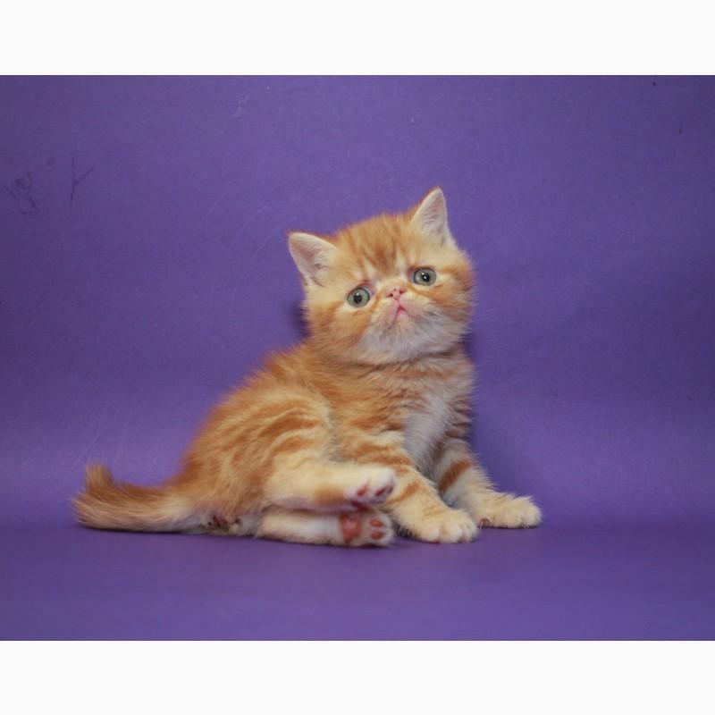 Фото 1/2. Экзотическая короткошерстная. Самая очаровательная яркая клубная котя