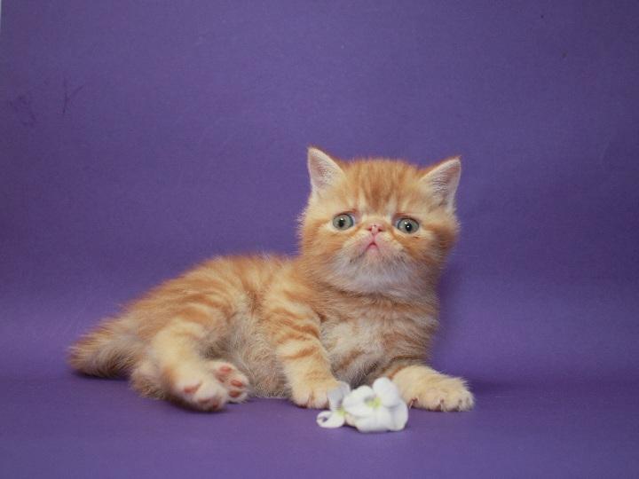 Фото 2/2. Экзотическая короткошерстная. Самая очаровательная яркая клубная котя