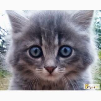 Себірський котик